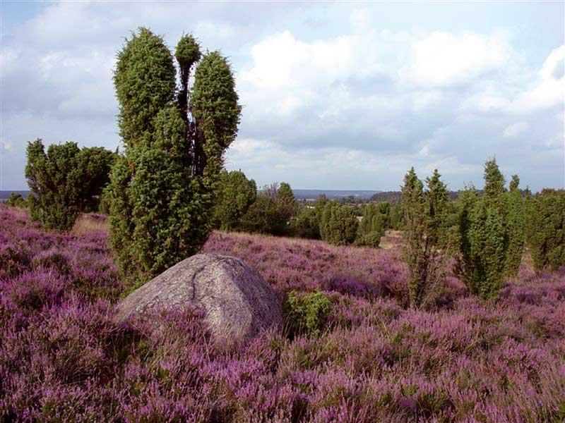 Bildergebnis für Lüneburger Heide